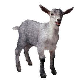 Hvad siger geden?