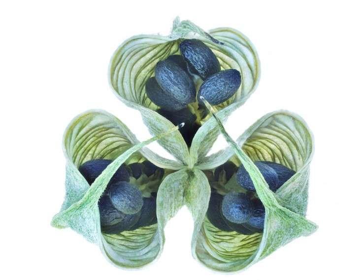 hellebore-seeing-seeds-gardenista