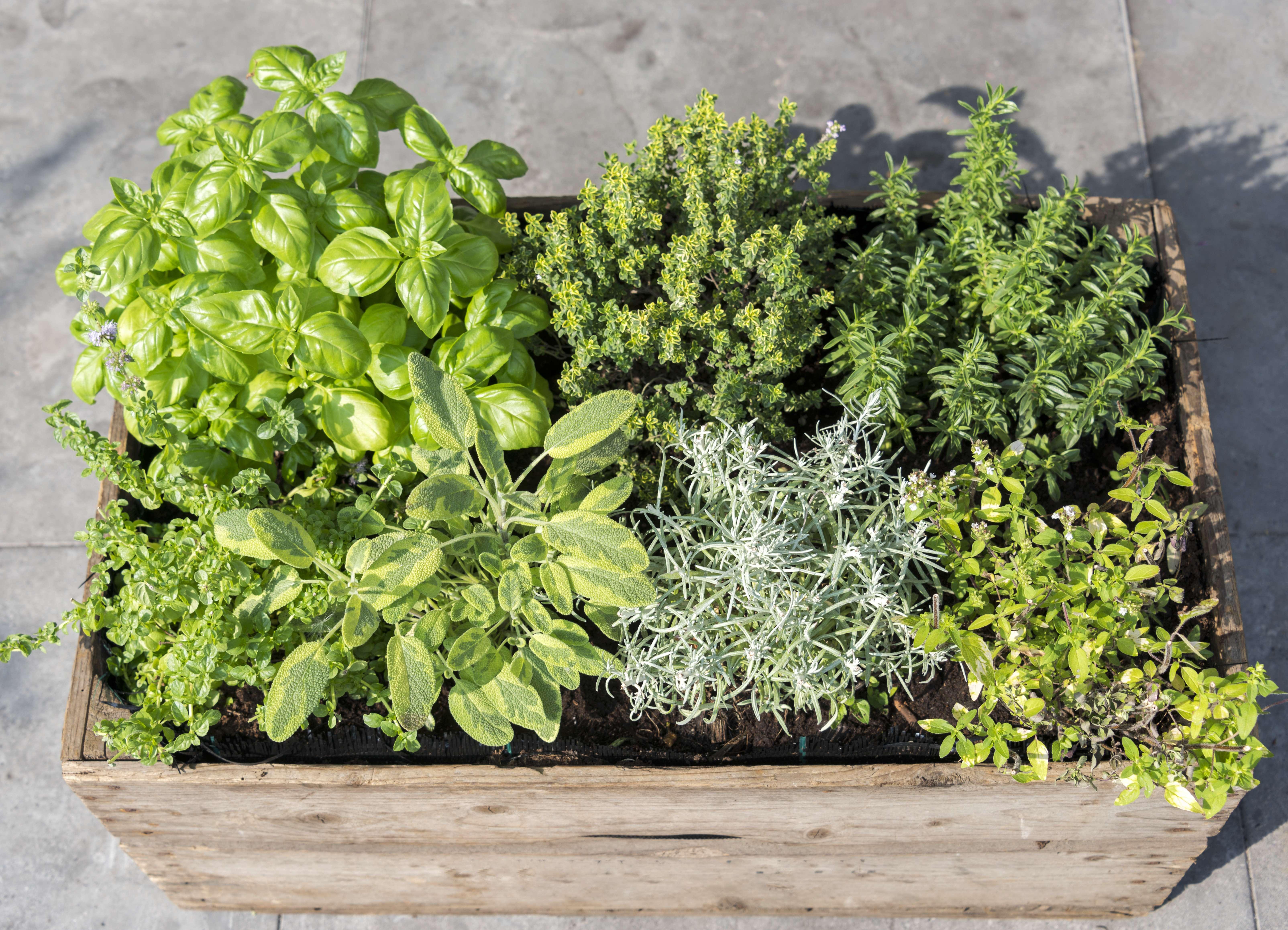 wooden container with fresh herbs menthe mentha pulegium,immortelle helichrysum italicum ,origan origanum aureum ,savory satureja, thymus and basil ocimum